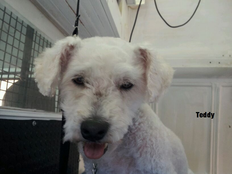 Teddy at Jo's Mobile Dog Grooming Melbourne
